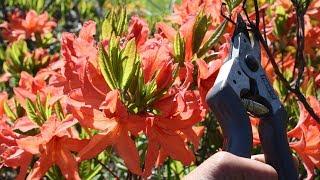 Как обрезать рододендроны (садовые азалии)