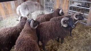 Sheep Shearing at Black Sheep Hill Farm