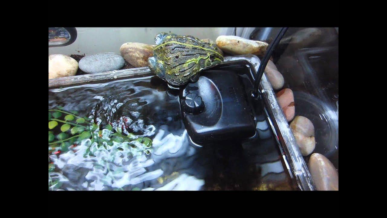 My Pyxie Frog Setup ( African Bullfrog ) - YouTube 10 Gallon Fish Tank Ideas