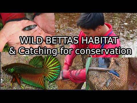 Catching Wild Bettas In THAILAND For Breeding Conservation! Betta Smaragdina Natural Habitat!
