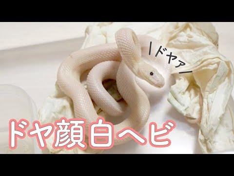 住み家を荒らしてドヤ顔してくる白ヘビがかわいい