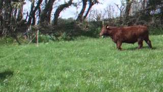 Red Ruby Devon Cattle Calves Electric Fence Training
