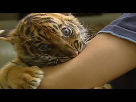 Adopt-a-tiger