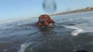 大荒れの海で泳ぐ、アイリッシュセター.