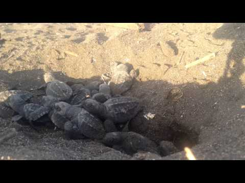 Timelapse Baby Olive Ridley Turtles