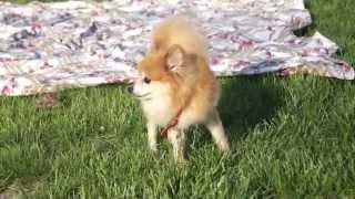 Cute Pomeranian Foster Dog The First Day In Foster Care With Us. We Later Adopted Her