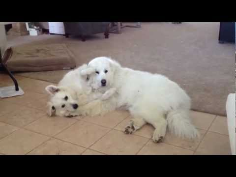 Lucy the Great Pyrenees pup hilarious