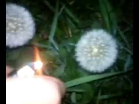 Ignition TARAXACUM