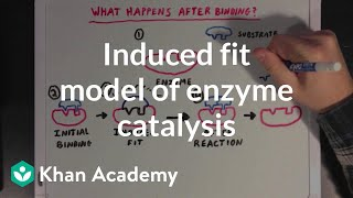 The Induced Fit Model of Enzyme Catalysis