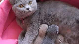 British Shorthair kittens