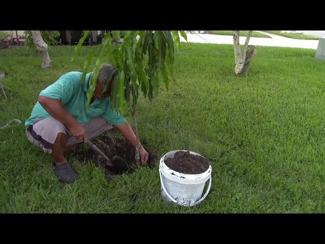 Trồng Trọt ở Mỹ: Trồng Cây Xoài và Dạo Quanh Trước Nhà - NVTC2 | Cách trồng cây