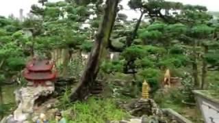 Vườn tùng, đồi tùng, cây tùng, sanh, tiểu cảnh, phong thuỷ cơ sở Ngọc Xuân đón Tết, Xuân