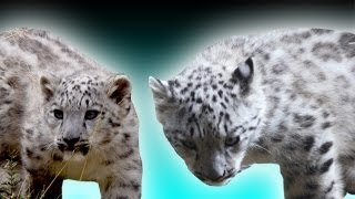 Rare Snow Leopard Cubs Born - Earth Juice Special (Ep 37) - Earth Unplugged