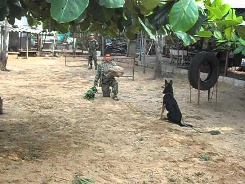 Chó Becgie qua huấn luyện