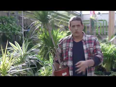 Variedades de drácena marginata - Decogarden