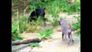 Puppy (blue) Blue Italian Greyhound And (gem) Min Pin ..