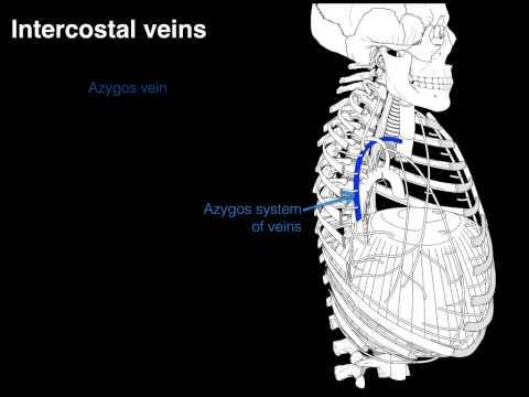Intercostal veins