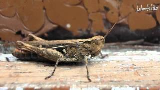 Krekel geluid - Cricket sound