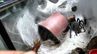 Tarantula feeding video