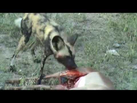 HORROR  Perro salvaje come antelope vivo