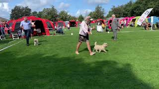 Cairn terrier junior competition