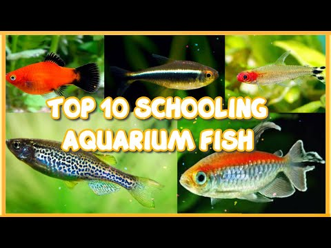 Top 10 Best Schooling Aquarium Fish For Beginners