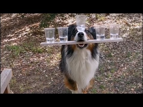 Dog balances 5 cups of water while walking beam
