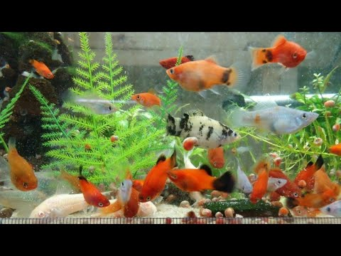 Different Types & Colours Platy Fishes On My Aquarium