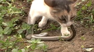 Видео приколы про животных.Кот против змеи Cat vs snake Юмор!