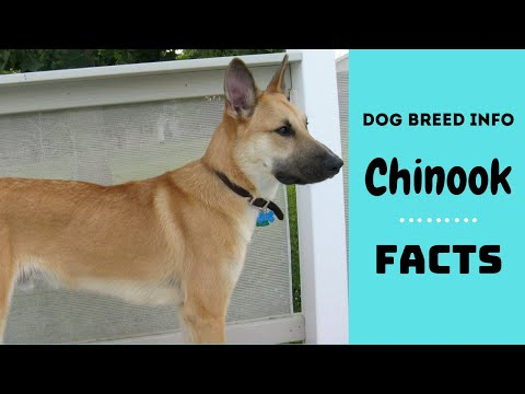 Chinook dog breed. All breed characteristics and facts about Chinook dogs