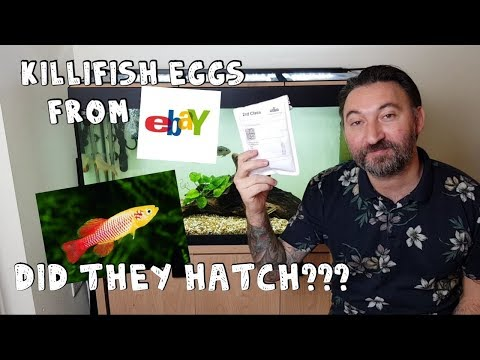 Buying Killifish Eggs From Ebay, Will They Hatch? Is It Legit Or A Scam? Let's Find Out.