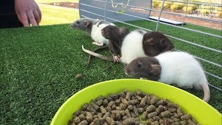 SZCZURY – Ciekawostki o szczurach