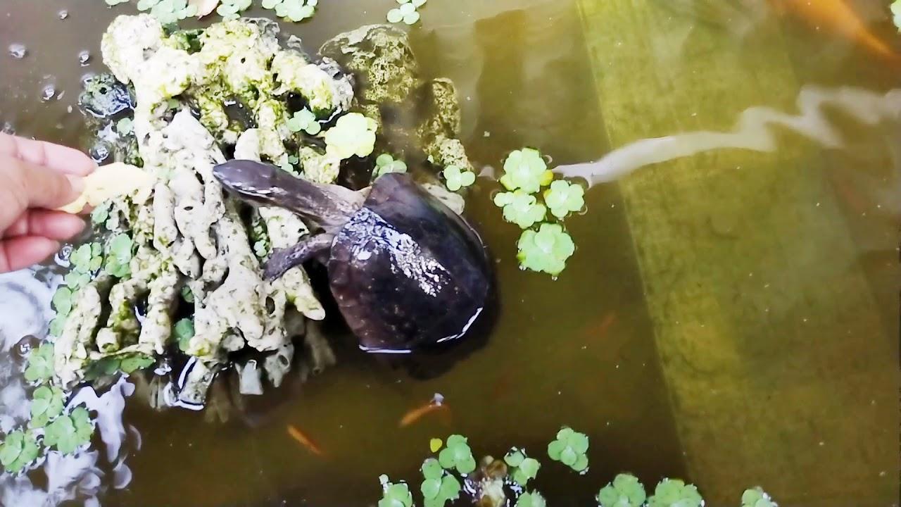 Download Turle Awonay and the Kois. #Turle&#KoiStory. #AquaticPets #Plantitas NarsMira Vlogs