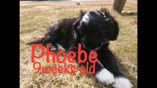 Portuguese water dog puppy  9 weeks old