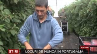 400 locuri de munca la cules zmeura in Portugalia