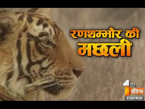 Queen of the Jungle | Ranthambore's Machhali | Wildlife history of India |  Story of T-16
