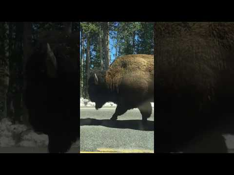 Yellowstone bison walking down the road