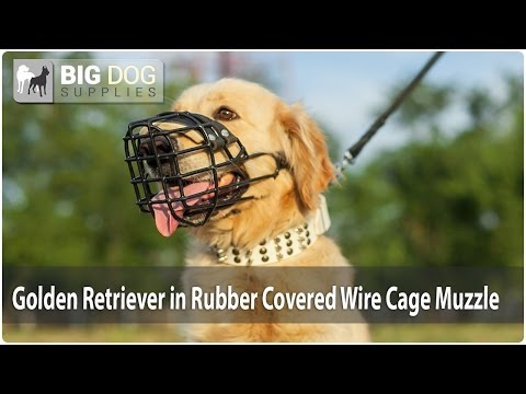 Golden Retriever in Rubber Covered Wire Cage Muzzle
