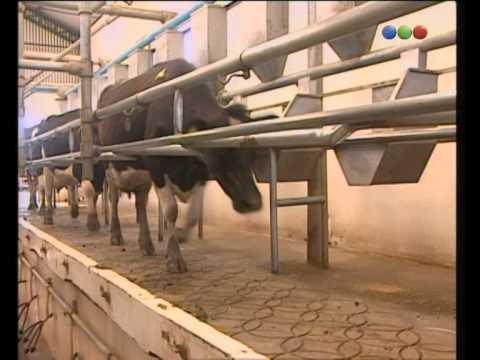 Vacas, Informe - Zoo Bicho