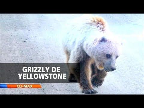 CLIMAX | Oso grizzly de Yellowstone : Aún es una especie vulnerable