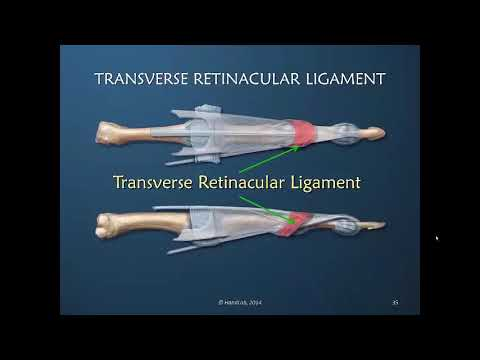 Understanding the Dorsal Apparatus of the Finger; Part 2 of 11: Anatomical Terminology