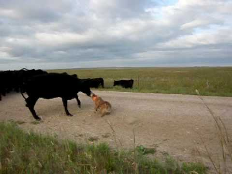 Red Heeler 'Bear' working cattle with stockdogs