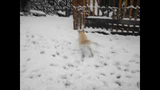 Murphee's First Snow, Golden Retriever Puppy