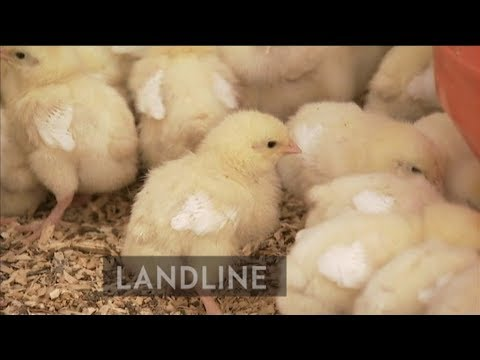 Bradman's grandson takes an agricultural shot with a 'regenerative' poultry farm