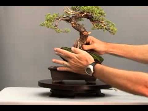 Bonsai Channel   Juniper Procumbens   YouTube