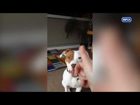 Ivor shows a deaf dog can be trained