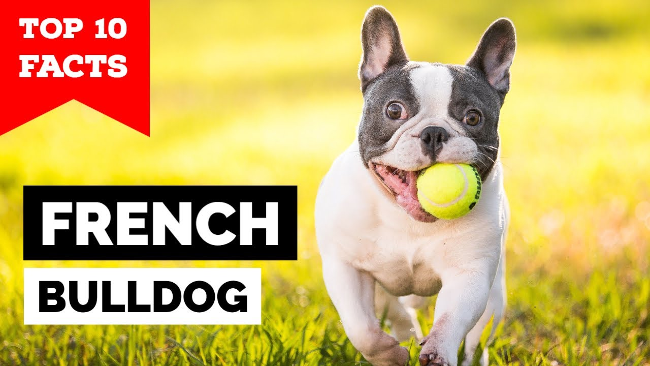 Tiny Frenchie Won't Stop Complaint | Dog Rescue Stories