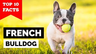 French Bulldog  Top 10 Facts