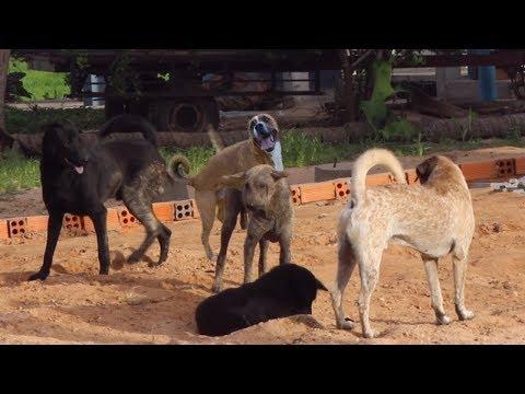 Summer Village RuralDogs!! Miniature Pinscher Vs Anatolian Shepherd Dog Near My Car