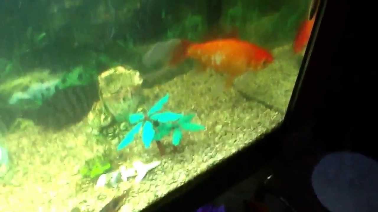 Il pesce rosso pi grande del mondo youtube for Pesce rosso butterfly